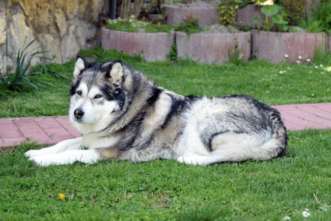 Big Fluffy dog alaskan Malamute