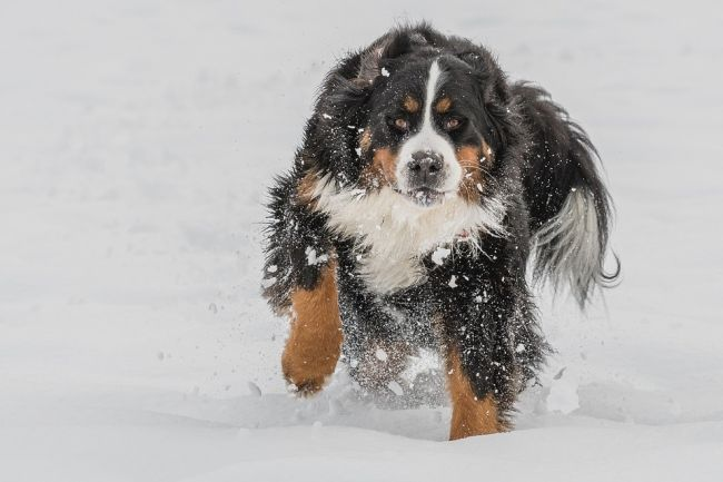 Largest Fluffy Bernese ​Mountain Dog Enjoy Playing on Snow