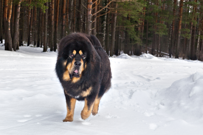Biggest Fluffy Canine Tibetan Mastiff