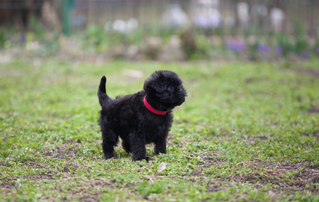 Black Fluffy pup Affenpinscher with red leash