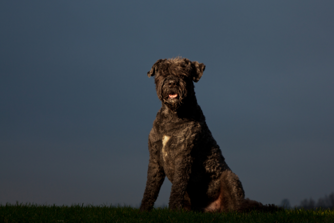 Black Fluffy Dog Bouvier Des Flandres