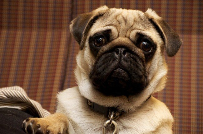 Cute Lap Pet Dog Pug