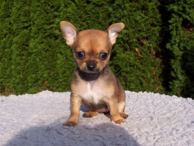 Dog for seniors Chihuahua