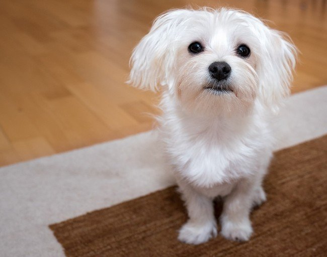 Dog for seniors  White Small Maltese