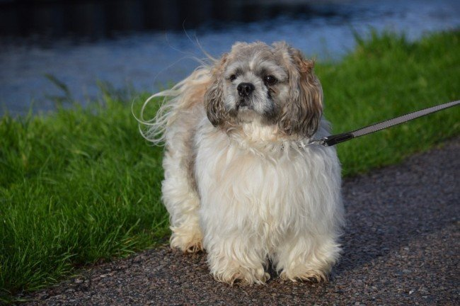 Dog for seniors Shih Tzu walking on the park with leash