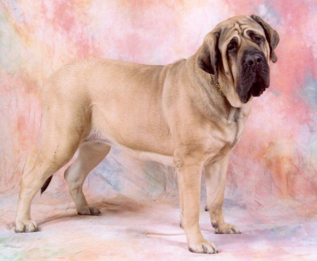 Gentle Giant Wrinkly Doggie Mastiff
