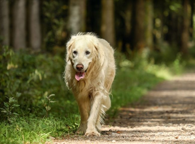 Golden Retriever Big Fuzzy Dog