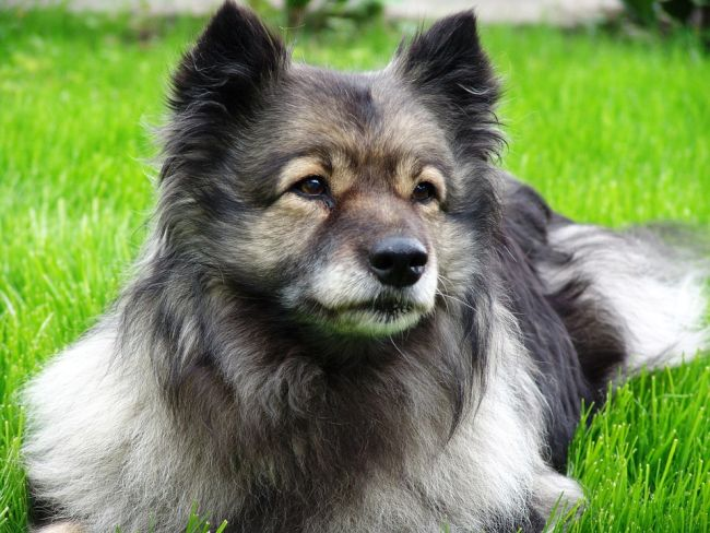Keeshond Dog Relaxing on the grass