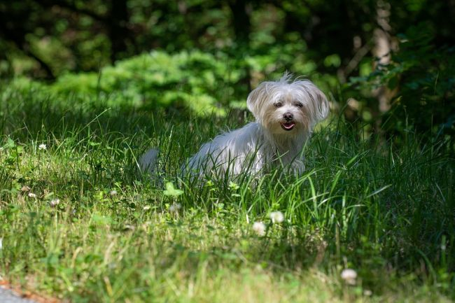 Little-Fluffy Havanese Playing on the forest