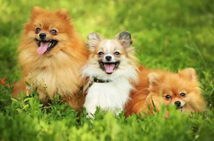 Small fluffy dogs Guide