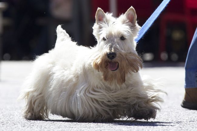 Small hairdy dog breed Scottish Terrier