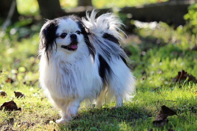 Small lap canine Japanese Chin