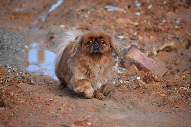 Small Wrinkly dogs Pekingese