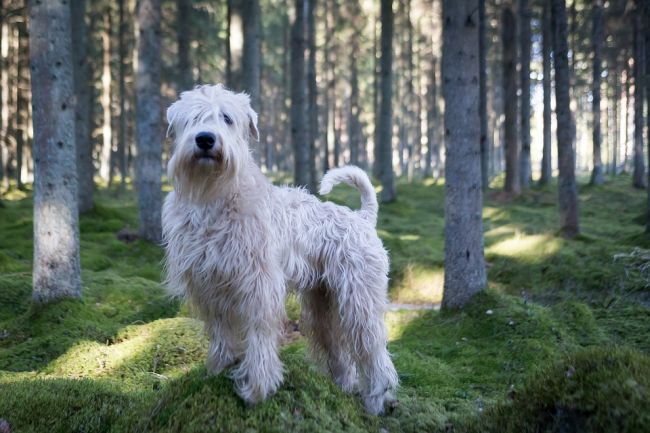 Soft-Coated Wheaten Terrier in the forest