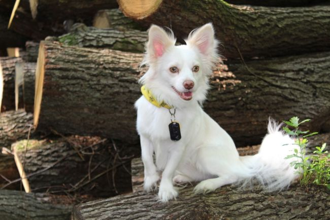 Cute White Fluffy Canine Papillon in the Forest