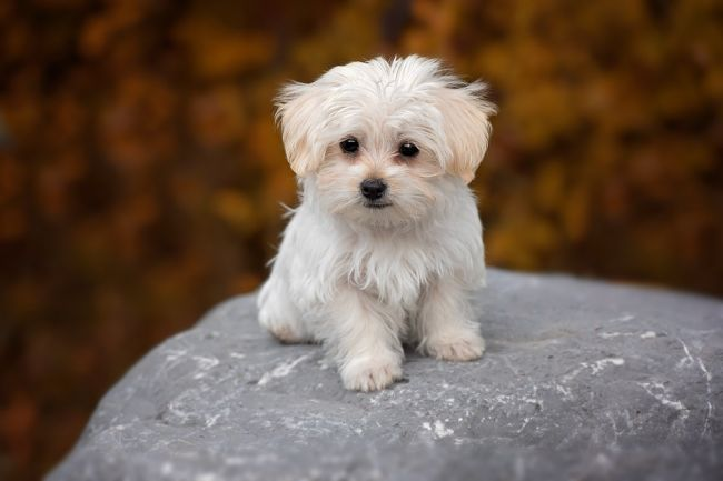 White fluffy dog Maltese Standing at the top of the stone