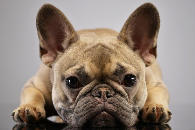 Wrinkly Little Dog French bulldog