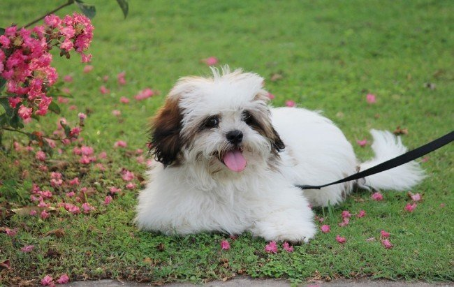 The Most Adorable Chinese Dog -  Lhasa Apso