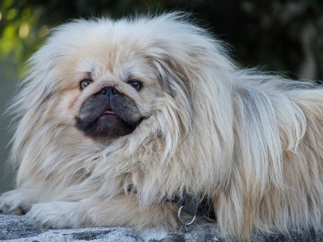 Cute Chinese Dog Pekingese