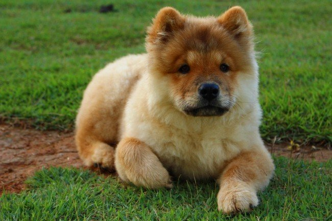 Cute chinese dog chow2