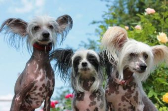 Popular Chinese Crested Dog