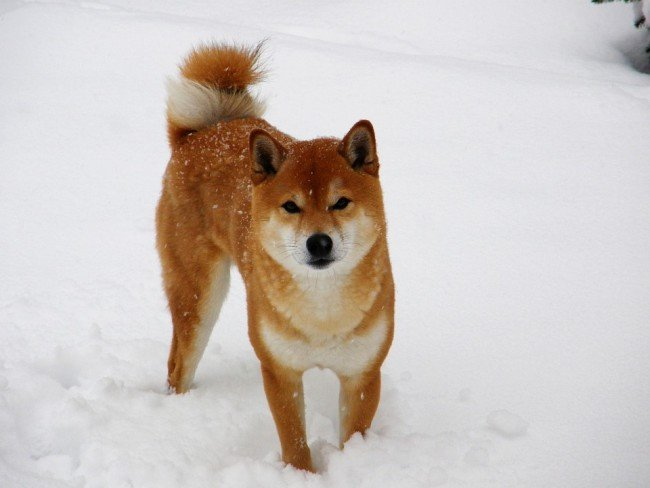 Popular Japanese dog Shiba Inu walking in the ice