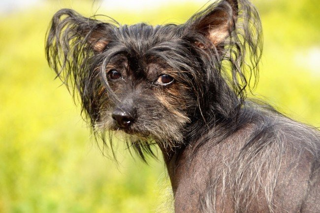 The Popular Chinese Crested Pooch