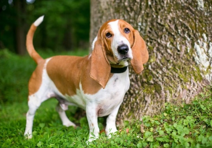 Basset Hound Beside the tree