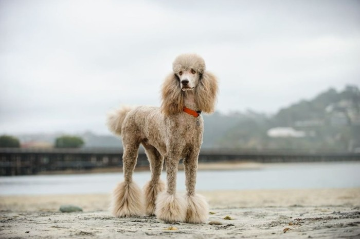 Standard Poodle Near the water