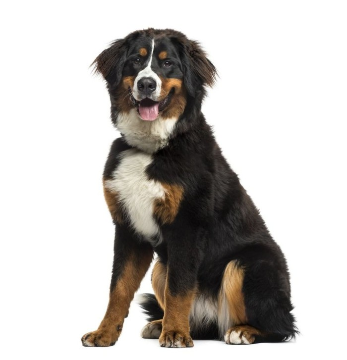 Big Low Maintanance Bernese Mountain Dog
