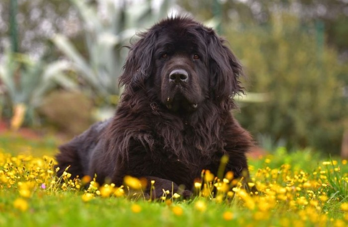 Newfoundland relaxing in the garden