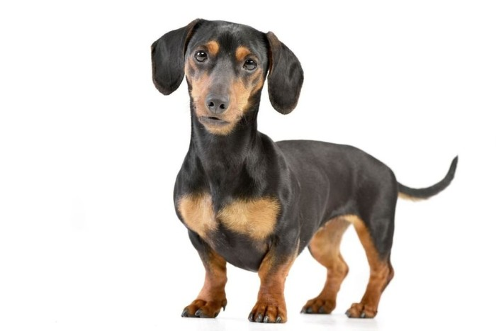 Dachshund in white background