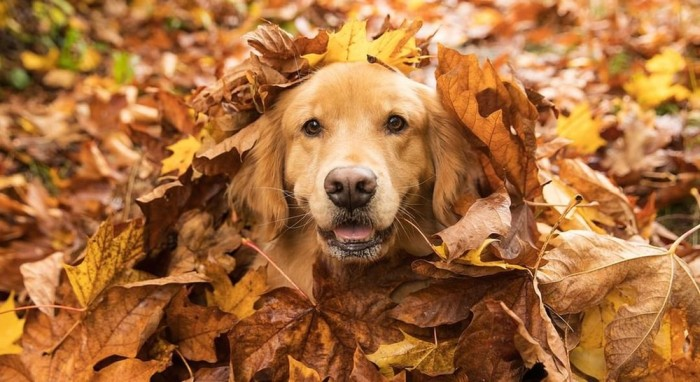 Golden Retriever Dog Playing With Leaves