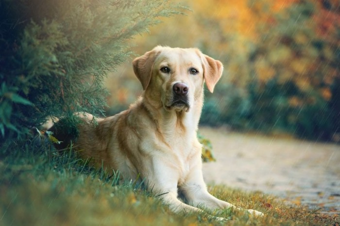 Labrador Retriever Best Service Dog Breed