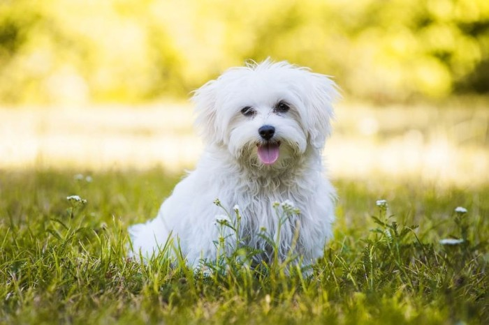 Maltese The White Small service dog
