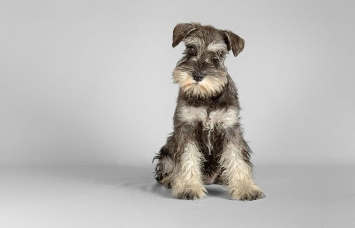 Miniature schnauzer Standing with gray background
