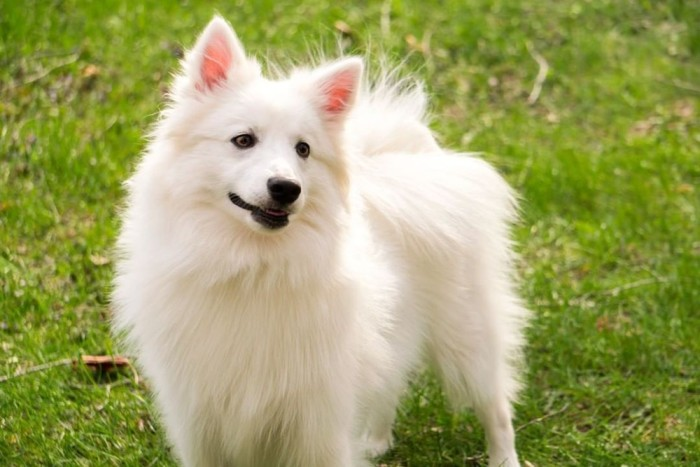 American Eskimo playing