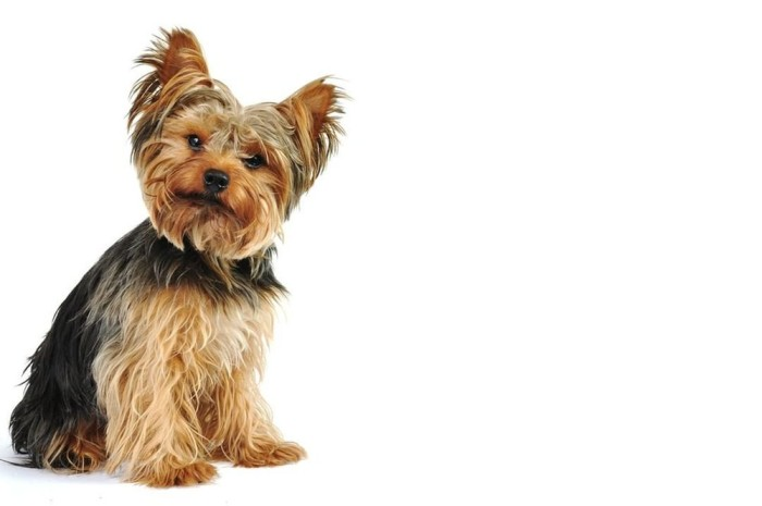 Small Low maintenance dog Yorkshire Terrier