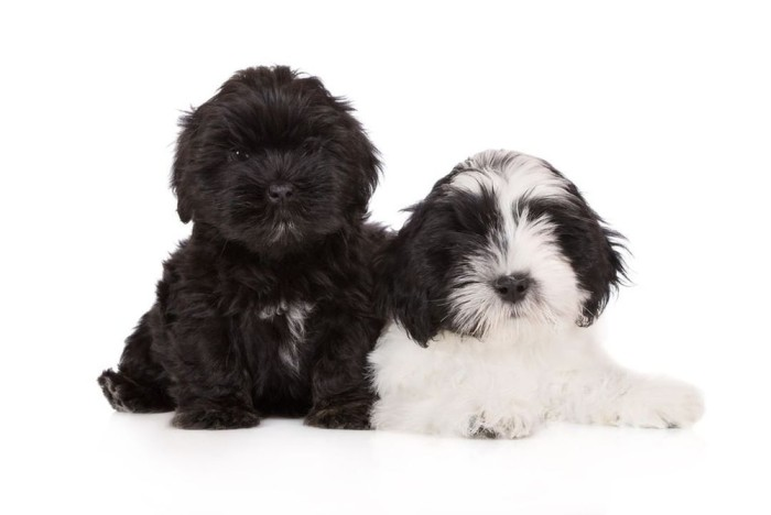 2 Lhasa apso puppies Black and White