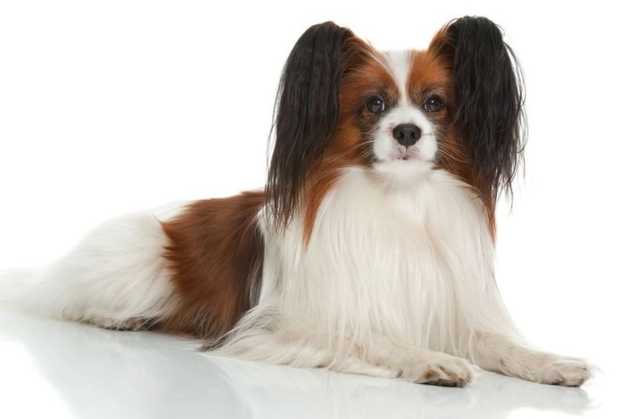 Dog service Papillion sitting