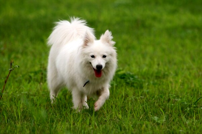 Japanese spitz walking