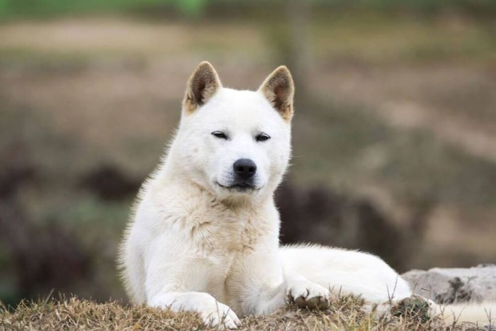 list of names for Korean Jindo