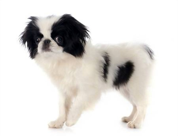 Cute Japanese chin puppy