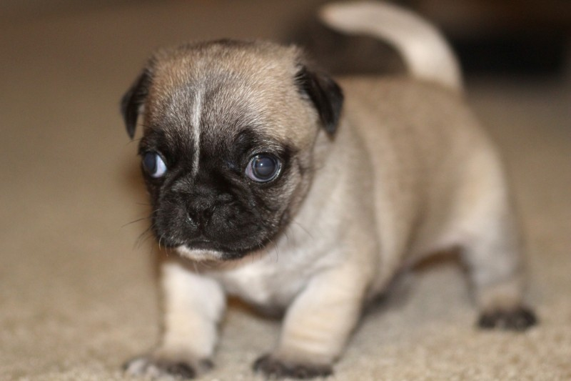 very cute and adorable little pug