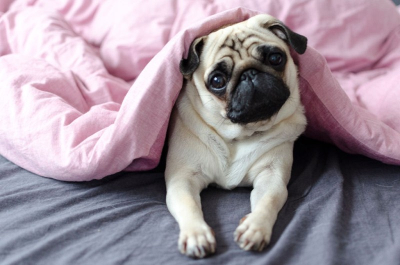 pug pup on a bed want to play