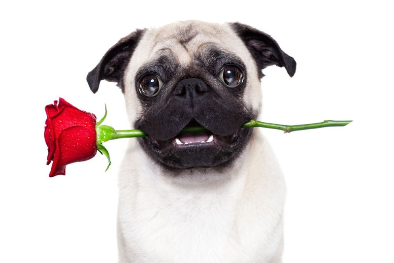 Happy cute pug with rose