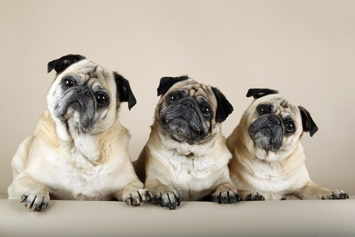 3 Cute and Hungry pugs want foods