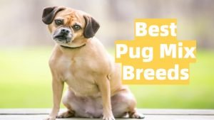 list of popular pug crossbreeds