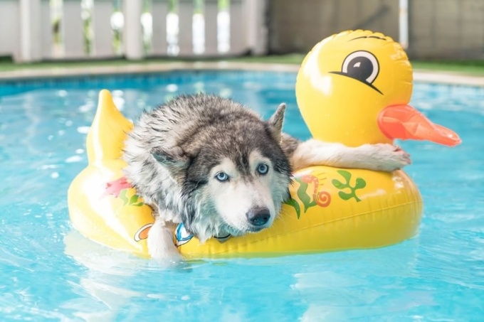 dog enjoying stay at the pool