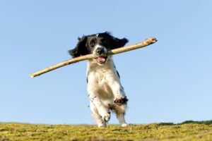 Spaniel Playing with stick